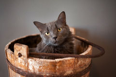 Grey Nebelung Cat In Wooden Bucket Stock Photo