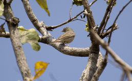Grey-necked Bunting or Grey-hooded Bunting Royalty Free Stock Image