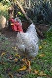 Grey -necked cock bald II Royalty Free Stock Photo
