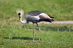 Grey-necked crowned crane Royalty Free Stock Photo