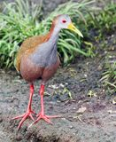 Grey-necked Wood-rail Stock Images