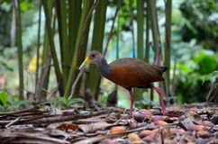 Grey-necked wood-rail Royalty Free Stock Photo