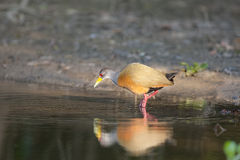 Grey-necked Wood Rail Stock Photography