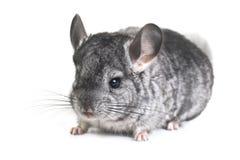 Grey nice chinchilla Stock Photo