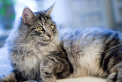 Grey norwegian forest cat Royalty Free Stock Photo