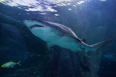 Grey Nurse shark Royalty Free Stock Images