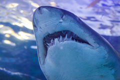 Grey Nurse shark. Close up in tank Stock Images