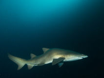 Grey nurse shark in dark blue. Grey nurse shark swimming in dark blue water, taken from fish rock, south west rock, nsw, Australia Royalty Free Stock Photography