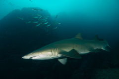 Grey nurse shark Stock Photos
