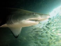 Grey nurse shark Royalty Free Stock Photo
