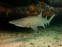 Grey nurse shark Stock Image