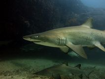 Grey nurse sharks Stock Photography