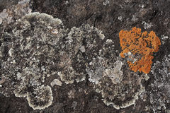 Grey and orange lichen Stock Photos