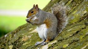 Grey Orange Squirrel Royalty Free Stock Photography