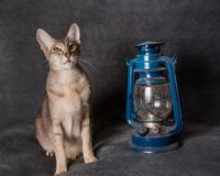 Grey Oriental cat and lantern on Christmas or New Year stock photography