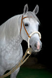 Grey orlov trotter horse on black Stock Image