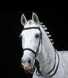 Grey orlov trotter horse on black. Background with a classic bosal-style hackamore Stock Photo