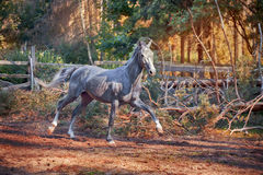 The grey Orlov Trotter horse. Running in sunny forest Royalty Free Stock Photo