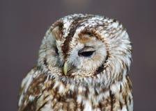 Grey owl Royalty Free Stock Image