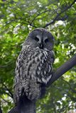 Grey owl. Owl Royalty Free Stock Photo