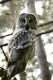 Grey owl. Owl Royalty Free Stock Photos