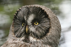 Grey owl Stock Photo