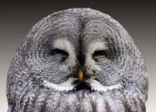 Grey Owl Stock Photos