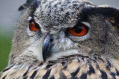 Grey Owl Royalty Free Stock Images