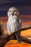 Grey Owl   against sunset sky Stock Photos