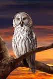 Grey Owl against sunset sky. Grey Owl (Strix nebulosa) against sunset sky stock photos