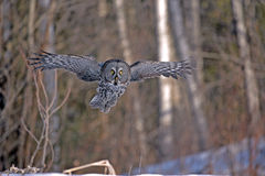 Great Grey Owl flying Stock Photography