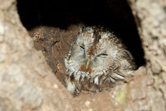 Grey Owl in hollow tree. Grey Owl sitting in a nest in the hollow Stock Photography