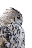 Grey owl isolated on white background Royalty Free Stock Photo