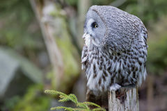 Grey Owl Portrait While Eating A Mouse Stock Photography