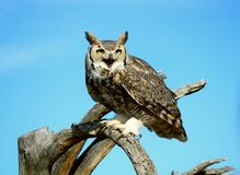 Grey owl. A grey owl sitting on a branch Royalty Free Stock Photography