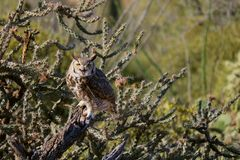 Grey owl. A grey owl sitting on a cactus branch Royalty Free Stock Photography