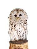 Grey owl (Strix aluco). Isolated on white background stock photography