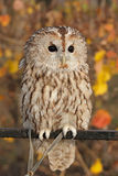 Grey Owl. (Strix aluco). Gray owl sitting on a perch on a background of autumn leaves royalty free stock photo