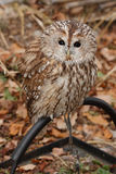Grey Owl. (Strix aluco). Gray owl sitting on a perch on a background of autumn leaves royalty free stock images