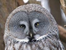 Grey owl - Strix nebulosa Royalty Free Stock Photos