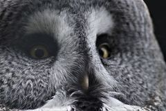 A grey owl with yellow eyes. A grey owl with a very round face, a yellow beak and perfect feathers Royalty Free Stock Images