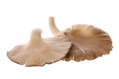 Grey Oyster Mushrooms Macro Stock Photos
