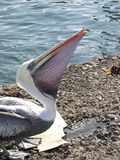 Grey pacific pelican Royalty Free Stock Image