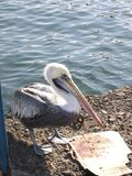Grey pacific pelican Royalty Free Stock Images