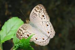 GREY PANSY (borboleta) foto de stock