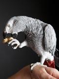 Grey Parrot öppningsjordnöt royaltyfri foto