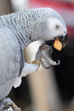 Grey parrot Royalty Free Stock Image