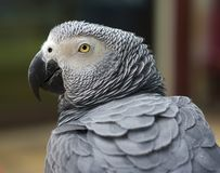 Grey parrot Stock Photography