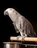 Grey parrot Stock Photos