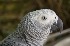 Grey parrot Royalty Free Stock Photography